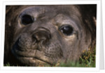 Elephant Seal Lying in Grass by Corbis
