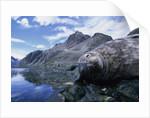 Weddell Seal Resting on Rocks by Corbis