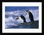 King Penguins Entering Water by Corbis
