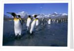 Colony of King Penguins by Corbis