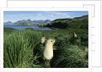 Antarctic Fur Seals Relaxing in Tussock Grass by Corbis