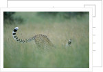 Cheetah Stretching in Tall Grass by Corbis