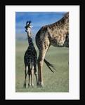 Giraffe and Calf by Corbis