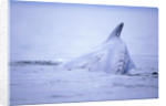 Dorsal Fin of Humpback Whale in Frederick Sound by Corbis