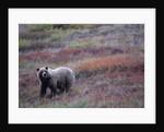 Grizzly Bear on Tundra Near Thorofare Pass by Corbis