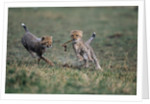 Cheetah Cubs Playing with Carcass by Corbis