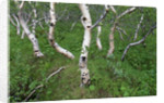 Birch Forest in Iceland by Corbis