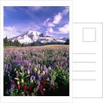 Wildflowers in Mt. Rainier National Park by Corbis