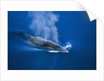 Antarctic Minke Whale Surfacing by Corbis