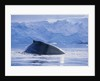 Humpback Whales in Fournier Bay in Antarctica by Corbis