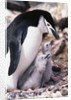 Chinstrap Penguin with Two Chicks in Antarctica by Corbis