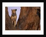 Adult Male Leopard in Tree by Corbis