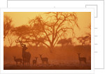 Greater Kudu and Impala Herd at Water Hole by Corbis