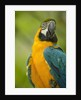 Blue and Gold Macaw by Corbis