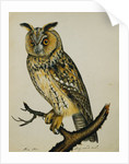 A Long-Eared Owl (Strix Otus) by Reverend Christopher Atkinson