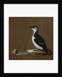 Studies of Birds Including a Woodcock; Razorbill; Teal and Partridges by Corbis