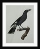 A Pied Currawong by Jacques Barraban