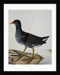 A Moorhen by Reverend Christopher Atkinson