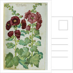 Watercolor of Hollyhocks by Joachim Camerarius the Younger
