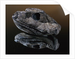 Fossil Skull of Ancient Amphibian by Corbis