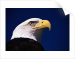 American Bald Eagle by Corbis
