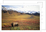 Grizzly Bear Foraging on Colorful Tundra by Corbis