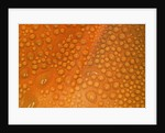 Closeup of Dewdrops on Poppy Petal by Corbis