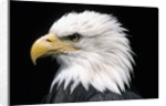 Head of Bald Eagle by Corbis