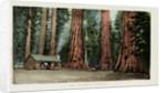 Big Trees in California Postcard by Corbis
