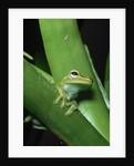 Treefrog by Corbis