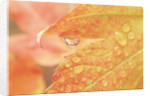 Vine maple leaf in a dew drop by Corbis