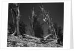 Bristlecone Pine Trees by Corbis