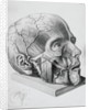 Illustration of Dissected Head by Corbis