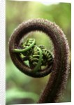 Detail of Sprouting Fern Fiddlehead by Corbis