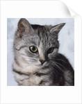 Grey Tabby Kitten by Corbis