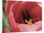 Peering Inside Tulip by Corbis