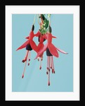 Fuchsia Flowers Blooming by Corbis
