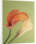 Blooming Lilies by Corbis