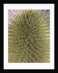 green thistle by Corbis