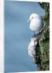 Black-Legged Kittiwake by Corbis