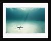 Blue Sea Star in Open Ocean by Corbis