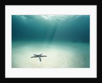 Blue Sea Star in Open Ocean by Corbis