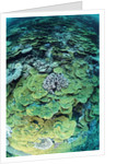 Elephant Ear Coral by Corbis