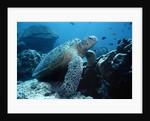 Green Sea Turtle by Corbis