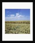Crops growing in a field by Corbis