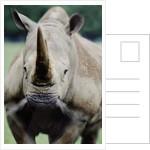 Charging Rhino by Corbis