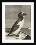Engraving of Great Auk by Corbis