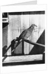Last Male Passenger Pigeon by Corbis