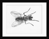 House Fly by Corbis