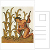 Illustration of an Aztec Man Cultivating Crops from the Florentine Codex by Corbis